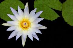 Wodna biała leluja z rosą i zielenią opuszcza w stawie Obraz Stock