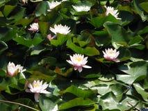 Wodna biała leluja Zdjęcie Royalty Free