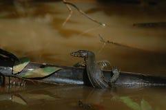 Wodna jaszczurka Zdjęcie Royalty Free
