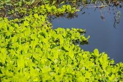 Wodna kapusta, Wodny hiacynt Fotografia Royalty Free