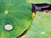 Wodna kropla, lotosowy liść Zdjęcie Royalty Free