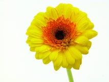 Wodna kropla na gerber kwiacie Zdjęcie Stock