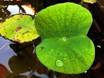 Wodna kropla na lotosie obraz stock