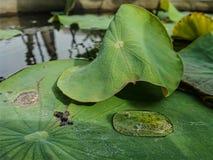 Wodna kropla na zielonym lotosie opuszcza w jasnym wodnym stawie Obraz Royalty Free