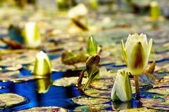 Wodna leluja Obraz Stock