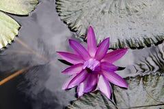 Wodna leluja Zdjęcie Stock