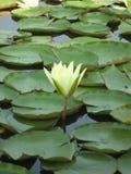 Wodna leluja i zieleni liście w Ladakh-2 Zdjęcia Stock