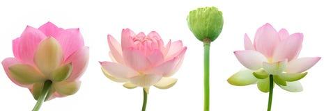 Wodna leluja kwitnie na białym tle Zdjęcia Royalty Free