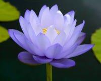 Wodna leluja, lotos Zdjęcia Stock