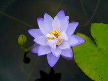 Wodna leluja, lotos Obraz Stock