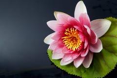 Wodna leluja, lotos na czerni obraz stock