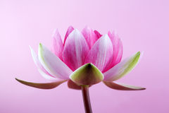 Wodna leluja, lotos na menchiach fotografia royalty free