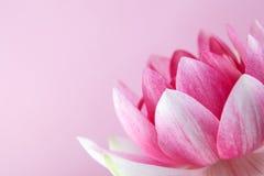 Wodna leluja, lotos na menchiach zdjęcie royalty free