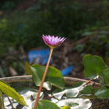 Wodna leluja lub grzybienia Obrazy Royalty Free
