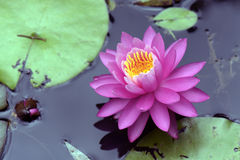 Wodna leluja lub lotos Zdjęcie Stock