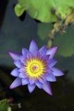 Wodna leluja lub lotos Zdjęcia Royalty Free