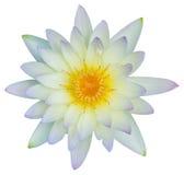 Wodna leluja lub lotosowy kwiat Fotografia Stock
