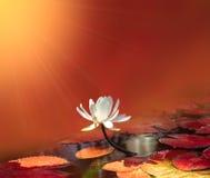 Wodna leluja na czerwonym tle Zdjęcie Stock