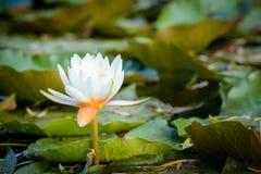 Wodna leluja na jeziorze zdjęcie royalty free