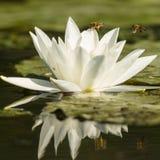 Wodna leluja, nymphaea albumy tło kwitnie leluja glansowanego biel dwa zdjęcie stock