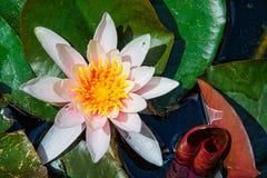 Wodna leluja, Nymphaea, leknÃn zdjęcie stock