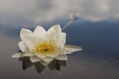 Wodna leluja odzwierciedlają od wodnej powierzchni przeciw błękitnemu s Zdjęcie Royalty Free