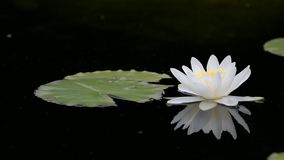 Wodna leluja odzwierciedlająca w wodzie zdjęcie wideo