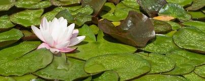 Wodna leluja si kwitnie w małym jeziorze zdjęcia royalty free