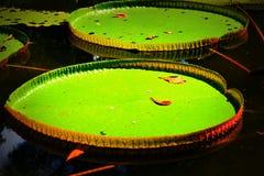 Wodna leluja w Pamplemousses Obrazy Stock