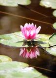 Wodna leluja w słońcu zdjęcia stock