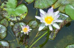 Wodna leluja w stawie, fiołkowa wodna leluja fotografia stock