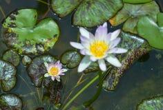 Wodna leluja w stawie, fiołkowa wodna leluja obrazy royalty free