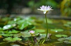 Wodna leluja w stawie, fiołkowa wodna leluja obraz stock