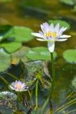 Wodna leluja w stawie, fiołkowa wodna leluja zdjęcie royalty free
