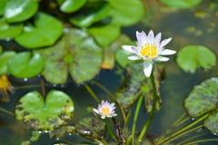 Wodna leluja w stawie, fiołkowa wodna leluja zdjęcie stock