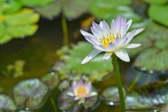 Wodna leluja w stawie, fiołkowa wodna leluja obraz royalty free