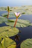 Wodna leluja w tamie, Ogrodowa trasa, Południowa Afryka Zdjęcie Stock
