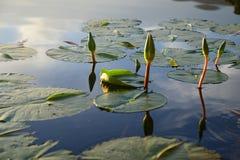 Wodna leluja w tamie, Ogrodowa trasa, Południowa Afryka Obrazy Royalty Free
