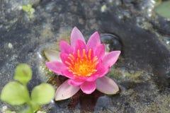 Wodna leluja w wodzie fotografia stock