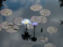 Wodna orchidea i lillies z nieba odbiciem Fotografia Royalty Free