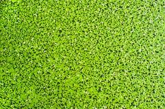Wodna powierzchnia zakrywająca z duckweed Fotografia Stock