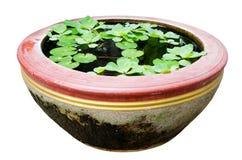 Wodna sałata z Lotosowym liściem na wodzie. zdjęcie stock