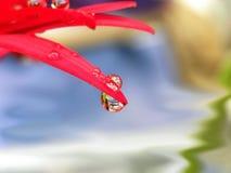 Wodne kropelki na czerwonych płatkach Fotografia Royalty Free