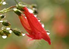 Wodne kropelki na czerwonym Penstemon kwitną - makro- Obraz Stock