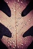 Wodne kropelki na Dębowym liściu zdjęcie royalty free