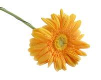 Wodne kropelki na gerbera kwiacie Obrazy Stock