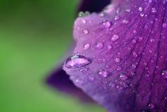 Wodne kropelki na irysowym kwiacie zdjęcie royalty free