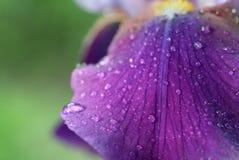 Wodne kropelki na irysowym kwiacie fotografia royalty free