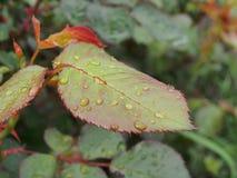 Wodne kropelki na liściach rośliny Po deszczu lub rosy Makro- tryb fotografia royalty free