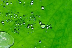 Wodne kropelki na lotosowym liściu obraz stock